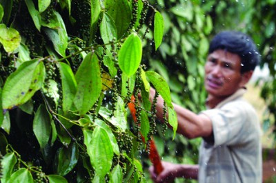 india to spice up pepper trade