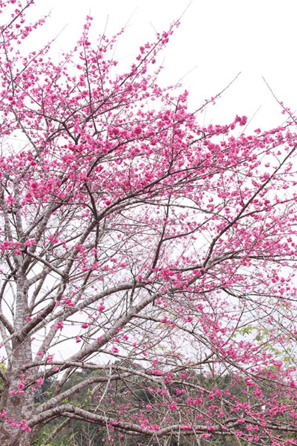 getting lost in dao hoa cherry blossom festival