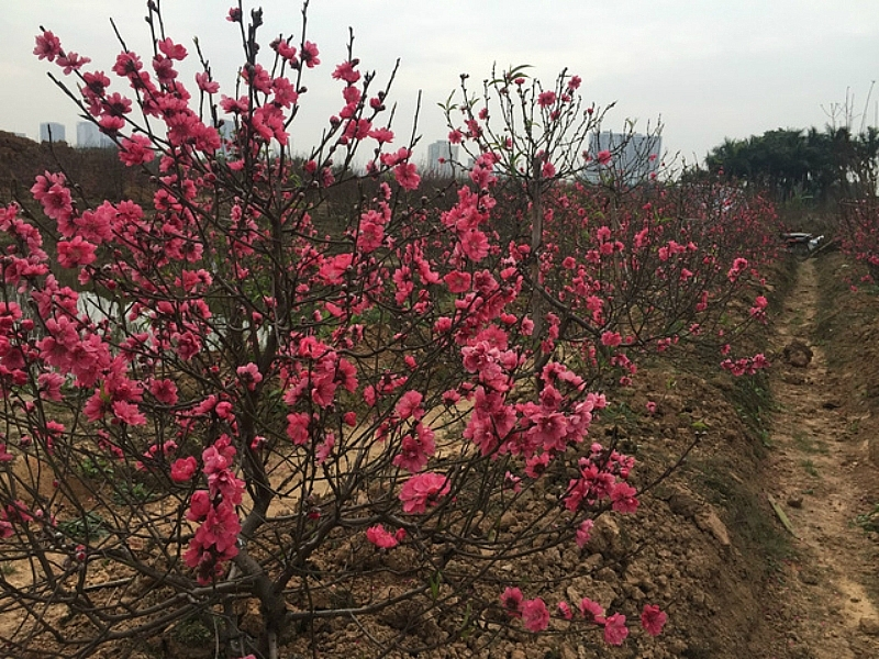 Cherry Blossoms Abloom On The Heels Of Lunar New Year