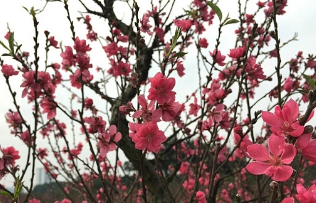 hanoi abloom with cherry blossoms on the heels of lunar new year