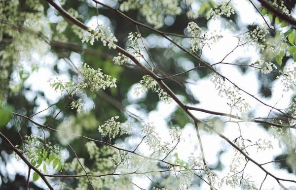 snow white flowers showering hanoi atmosphere