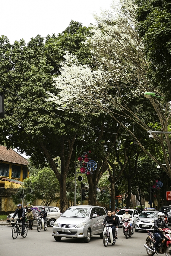 snow white flowers showering hanoi atmosphere