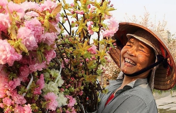 haiphong graced with nearly 1000 japanese sakura