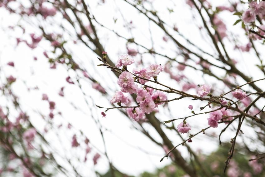 10 thousand cherry blossoms adorn hanois central park