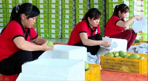 vietnamese mango finds 40th export market the us