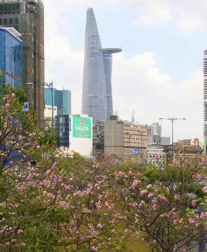 saigon in pink poui blooming season