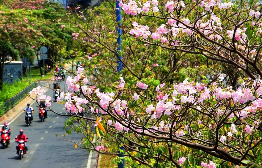 saigon in pink poui blooming season