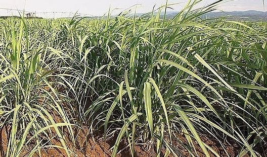 sugar firms anticipated more buoyant upcoming fiscal year