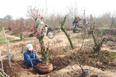 cold ruins peach blossom harvest
