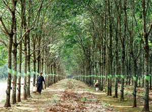 nation ranks third in rubber export