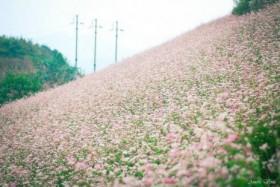 Flowering seasons across Vietnam tempting for backpackers, tourists