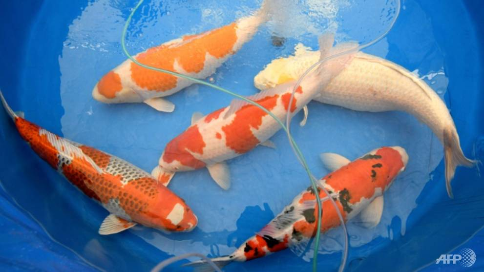 Koi story priceless japanese fish make a splash for Koi pool thornton