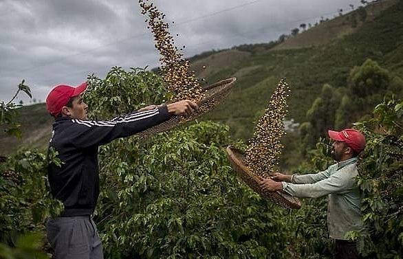 60pc of coffee varieties face extinction risk