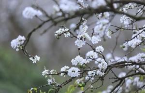 mu nau plum blossom brightens up moc chau plateau