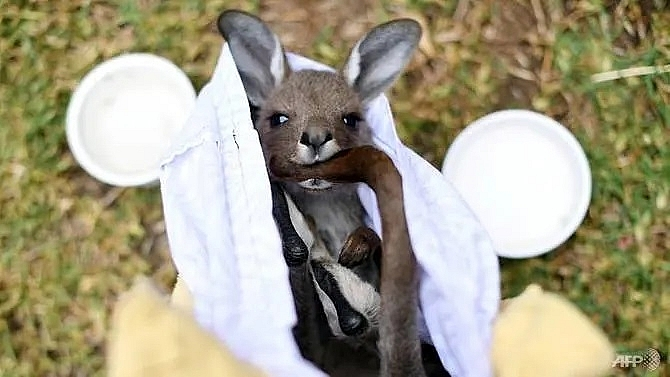 australian animals face extinction threat as bushfire toll mounts