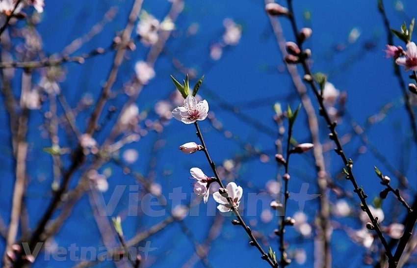 plum blossoms cover moc chau valleys