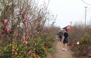 peach kumquat tree growers busy ahead of tet