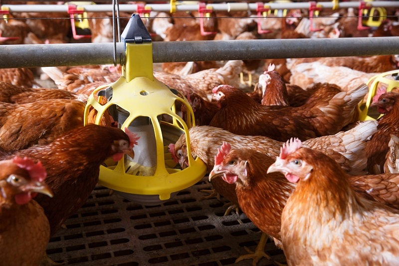 1528 p16 imports impeding chicken production