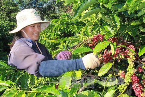 dak lak to shift coffee strategy