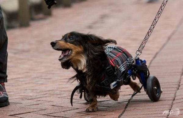 the long and the short hong kong sausage dogs go walkies