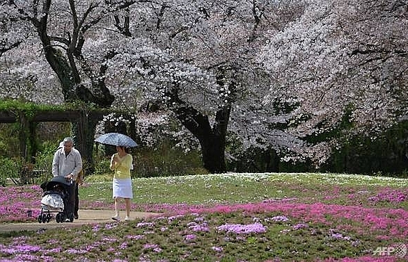 japans cherry blossom season expected to arrive early this year