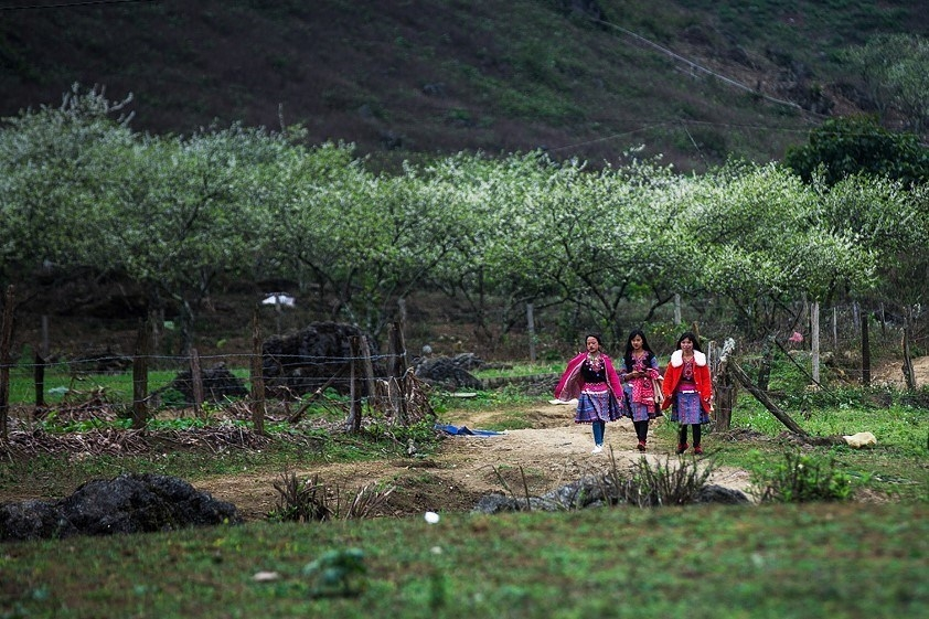 moc chau full of white apricot blossoms in spring