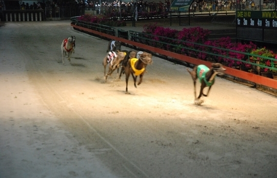 dog races in vung tau city