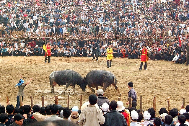 vinh phuc requested to tighten control over buffalo fighting festival