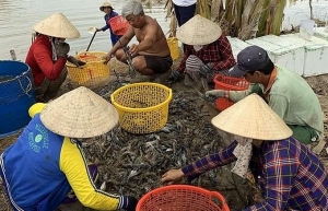 kien giang to expand shrimp farming models
