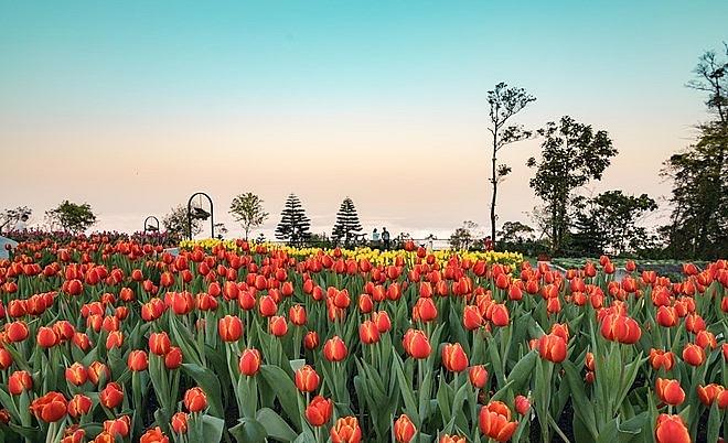 tulip festival in ba na hill sets guinness vietnam record