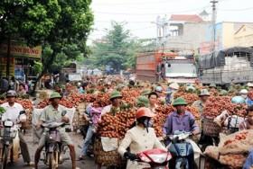 Hai Duong lychees win US order