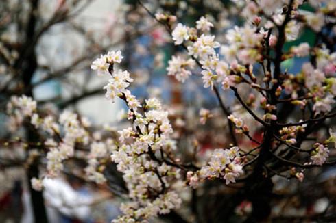 10000 cherry blossoms celebrate vietnam japan ties