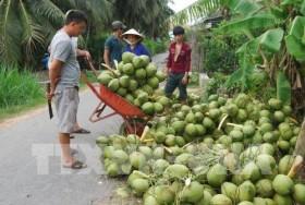 Bến Tre coconut growers struggling