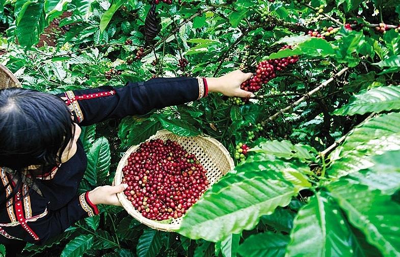 indonesia craves vietnamese coffee