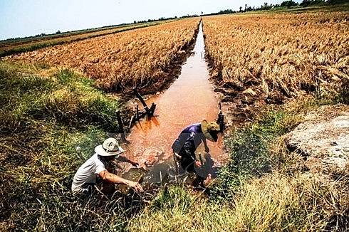 over 40000ha of rice to be hurt by saline intrusion in hau giang
