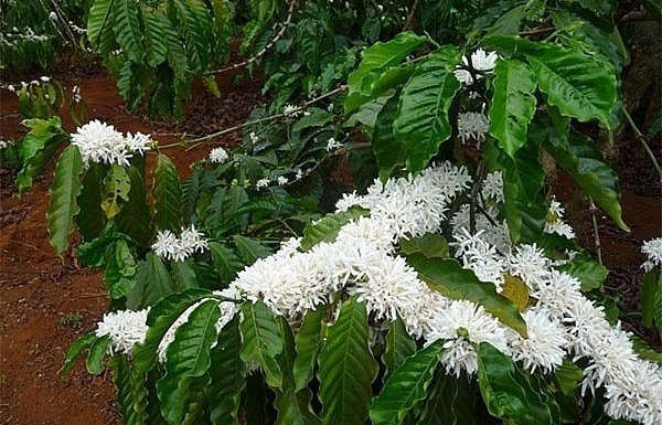 the sweet aroma of pleikus coffee flowers