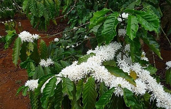 the sweet aroma of pleikus coffee flowers