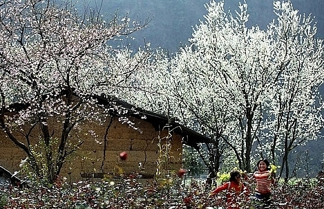 no need to go to japan dien bien now among worlds places to view cherry blossoms