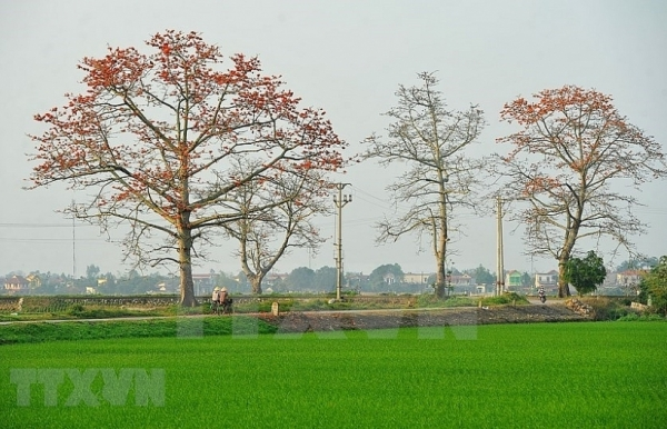 red silk cotton trees in full bloom