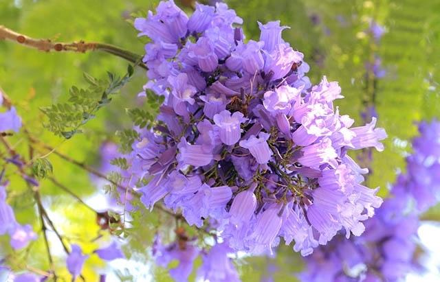 vibrant violet flamboyant flower season in da lat