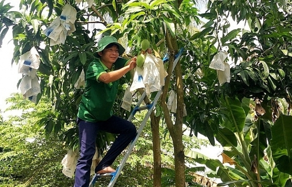 Dong Thap to up exports of mangoes by focusing on quality, branding