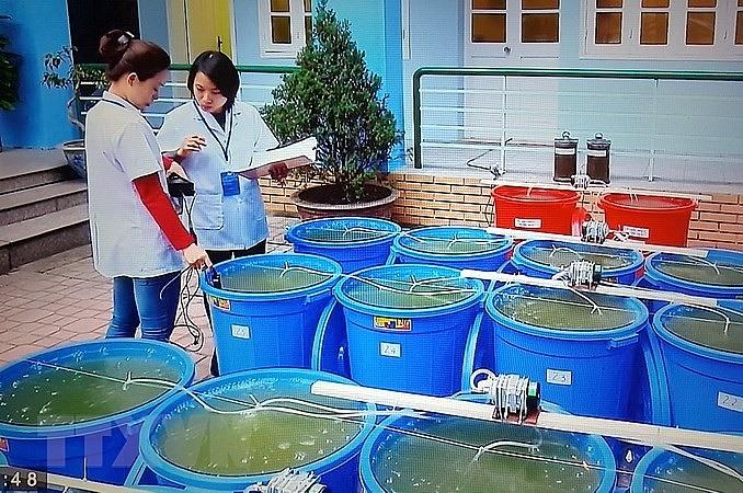 hanoi releases algae to revive hoan kiem lake