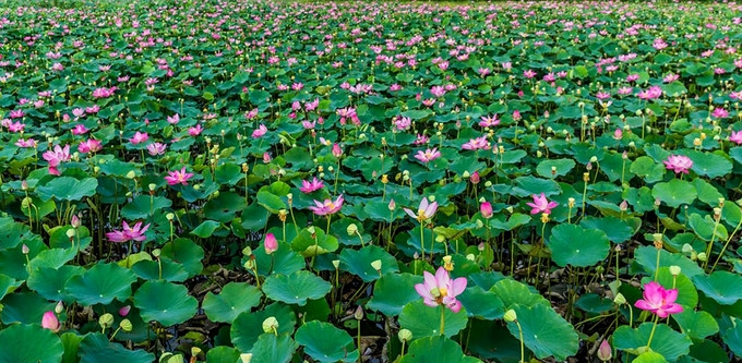 stunning lotus blossom display in ninhthuan