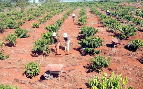 Average Coffee Yields Vietnam
