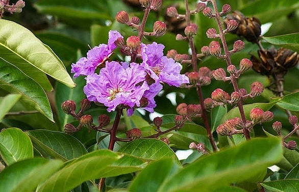 hanoi turns purple with crape myrtle flowers