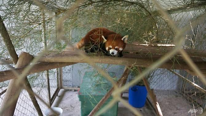 kung fu red pandas settle into new laos sanctuary