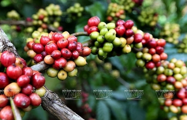 italian coffee producers highly evaluate vietnamese coffee beans