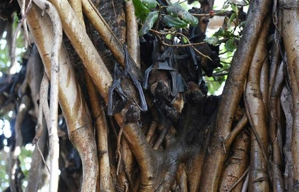 nipah virus kills at least three in india sparks panic in district