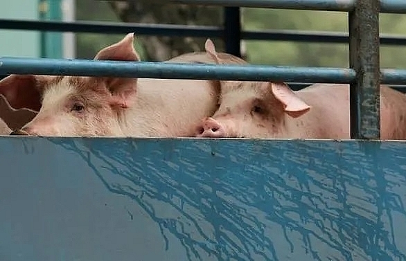 hong kong to cull 6000 pigs as first swine fever case found