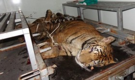 2 endangered indochinese tigers thrown out of truck to block police chase